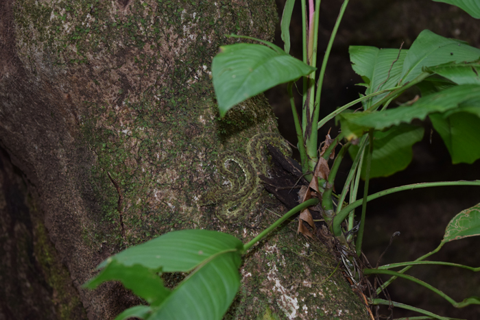 An eyelash viper curled up on a tree.