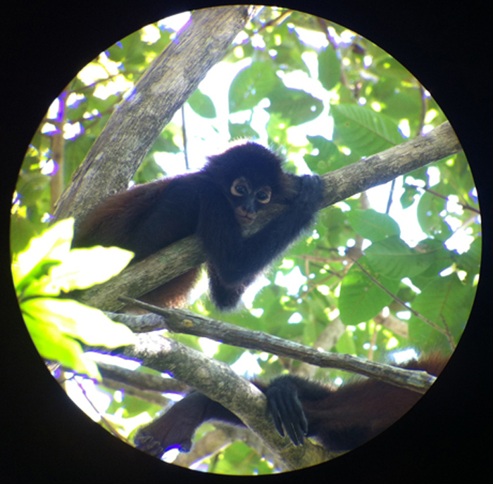 A young spider monkey hanging out on a branch.
