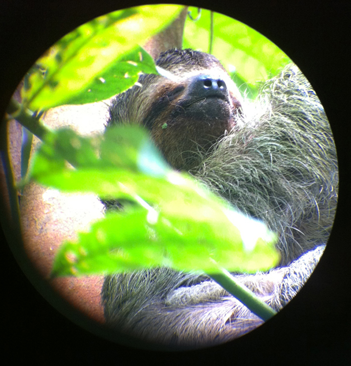 A three-toed sloth chilling in the trees.