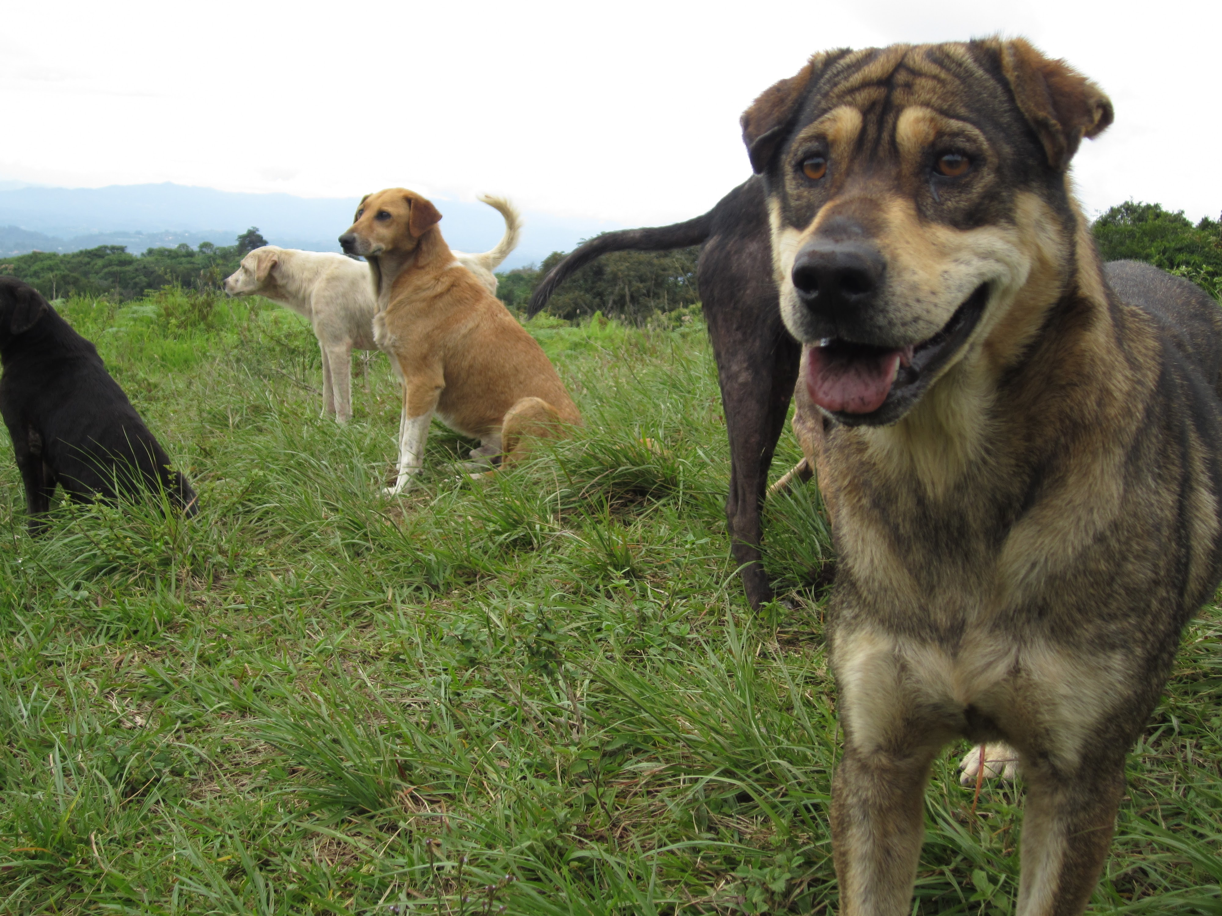 Happy dogs stand watch on the hills of Territorio de Zaguates.