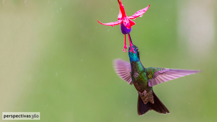 Magnificent hummingbird, male.