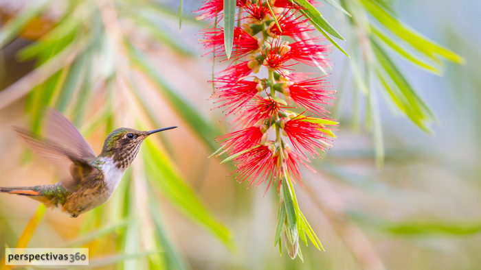 Scintillant hummingbird, female.