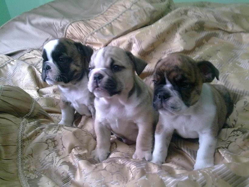 Puppies For Sale In Ohio Under 300. Nationwide classified ads ruby colored