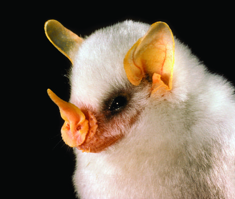 Costa Rica hosts largest-ever bat conference - The Tico Times  Cute White Bats