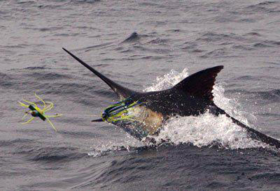 Marlin hitting lure
