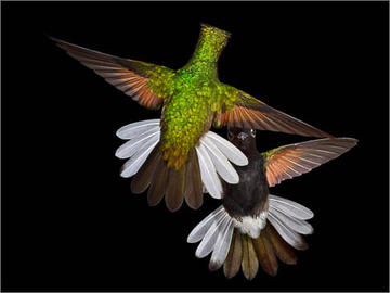 Black-bellied Hummingbird 3924B