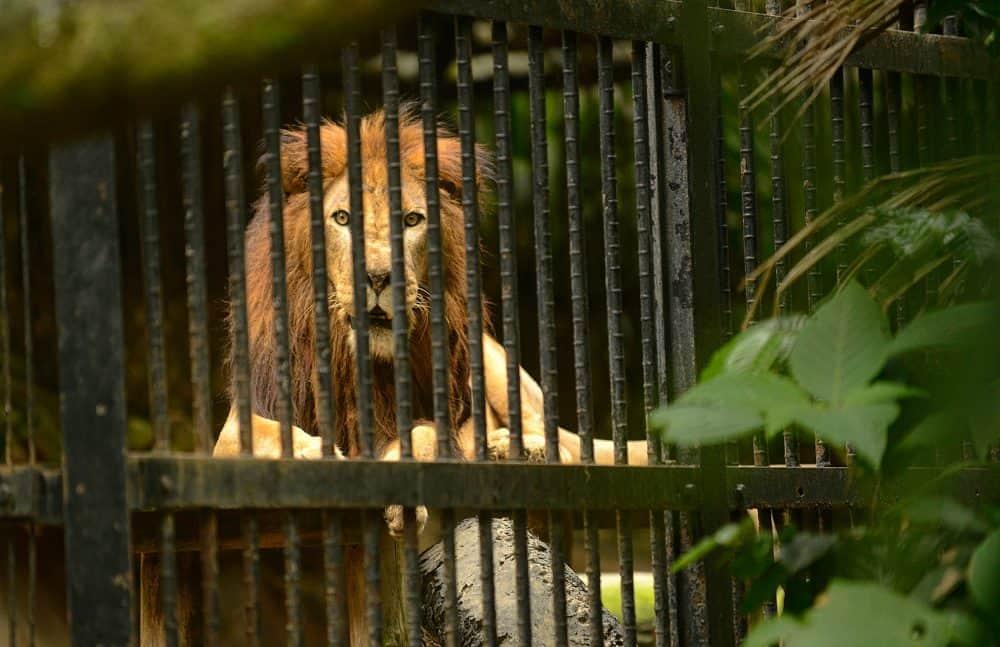 Kivu the lion was born in captivity. He lives at the Simón Bolívar Zoo in San José.