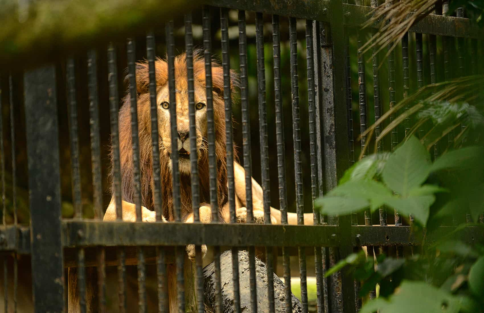 Kivu the lion was born in captivity. He lives at the Simón Bolívar Zoo in San José.