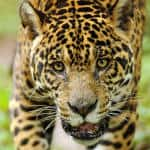 To save a predator: A history of human-jaguar conflict in Costa Rica