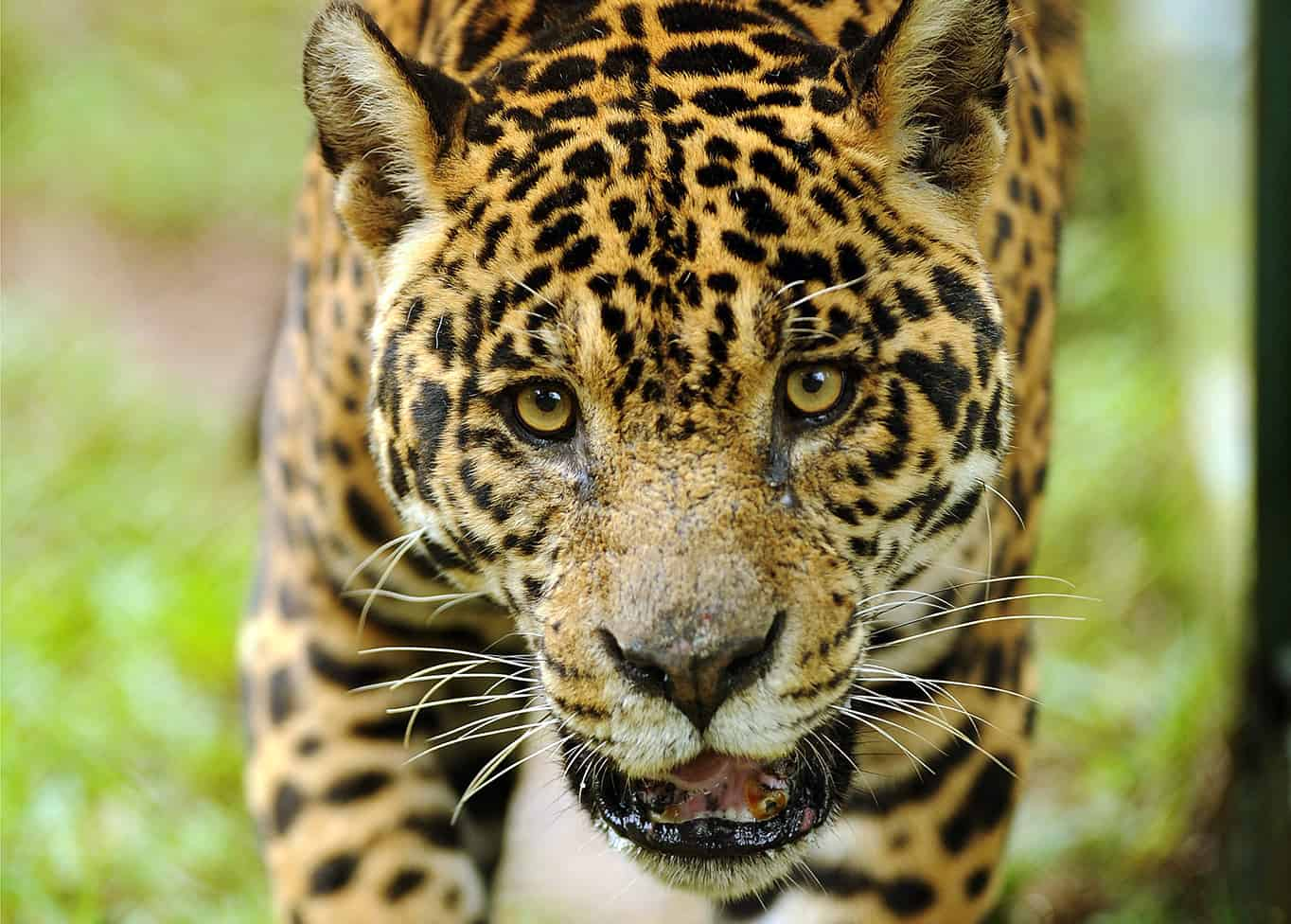 Jaguars A Symbol Of Costa Rica The Tico Times Costa Rica News