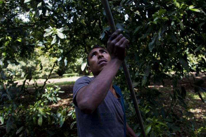 A man works at an avocado orchard owned by the Ceballos family in the community of Tancitaro, Michoacán, Mexico, on Jan. 16, 2014. The land is one of the several properties recovered by the Mexican vigilante militias battling drug traffickers in the restive state of Michoacán.