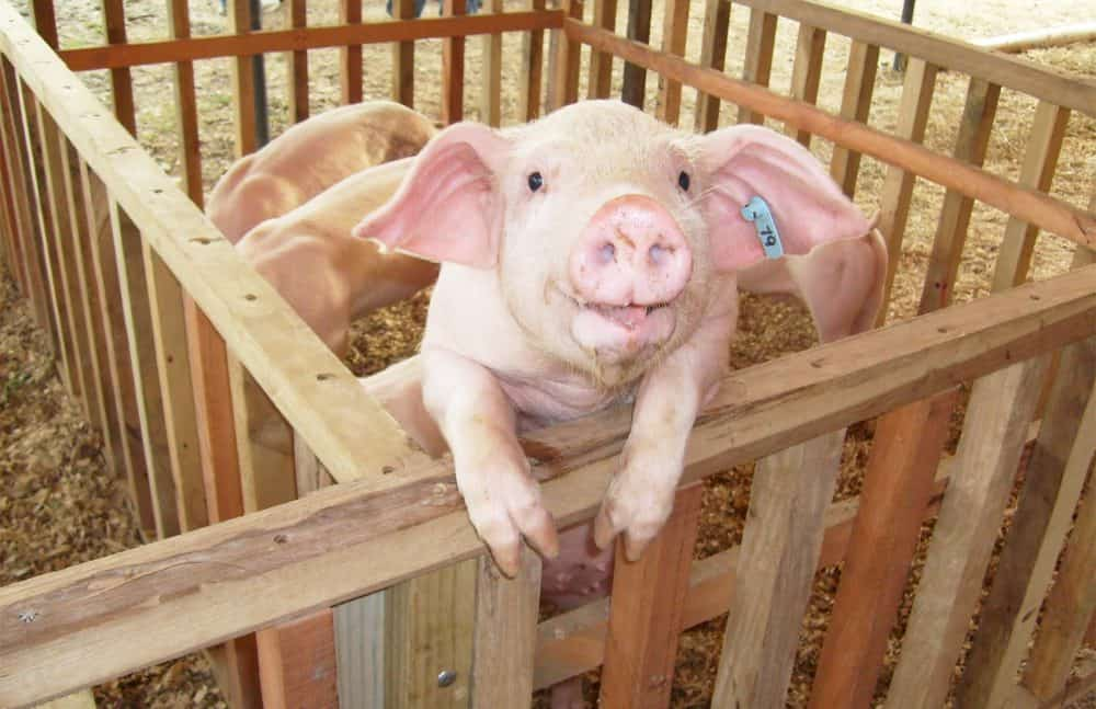Costa Rican pork exports