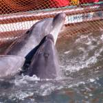 Japan dolphin hunt goes on after slaughter