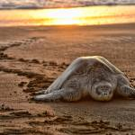 Turtles will be unprotected as leatherback nesting season approaches on Moín Beach