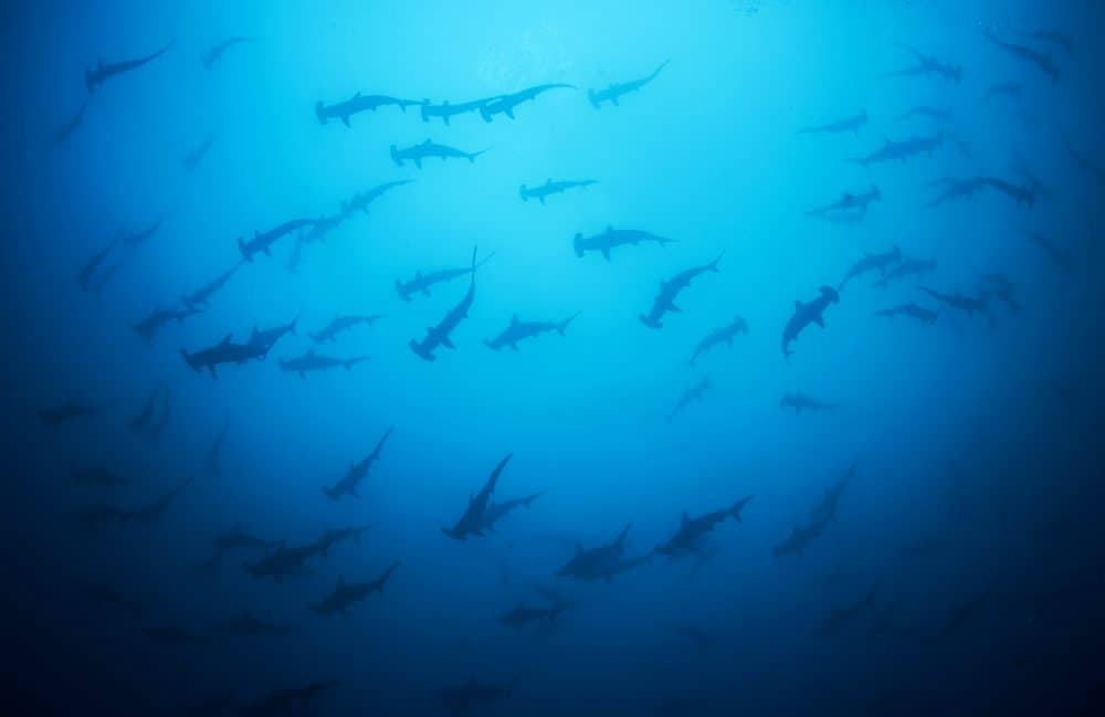 Hundreds of hammerhead sharks at Cocos Island.