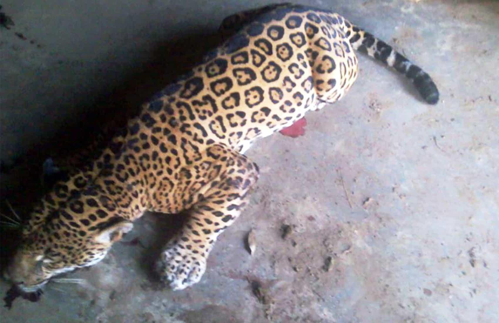 Dead Jaguar