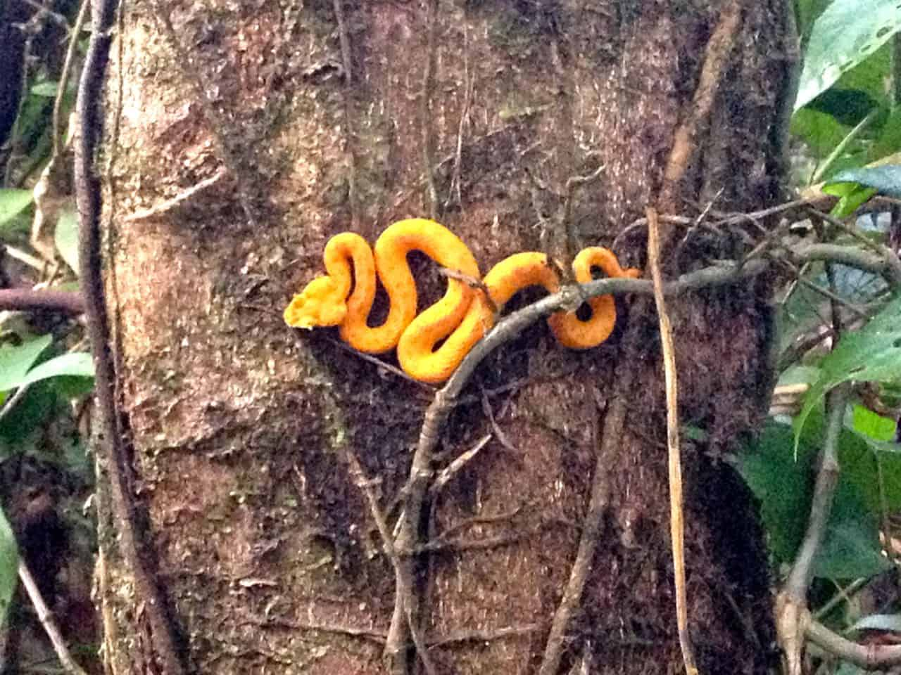 deadly beauty a pit viper clings to a tree harmless from a distance the snake can deliver a deadly bite robert isenbergthe tico times - Garden Snake Bite