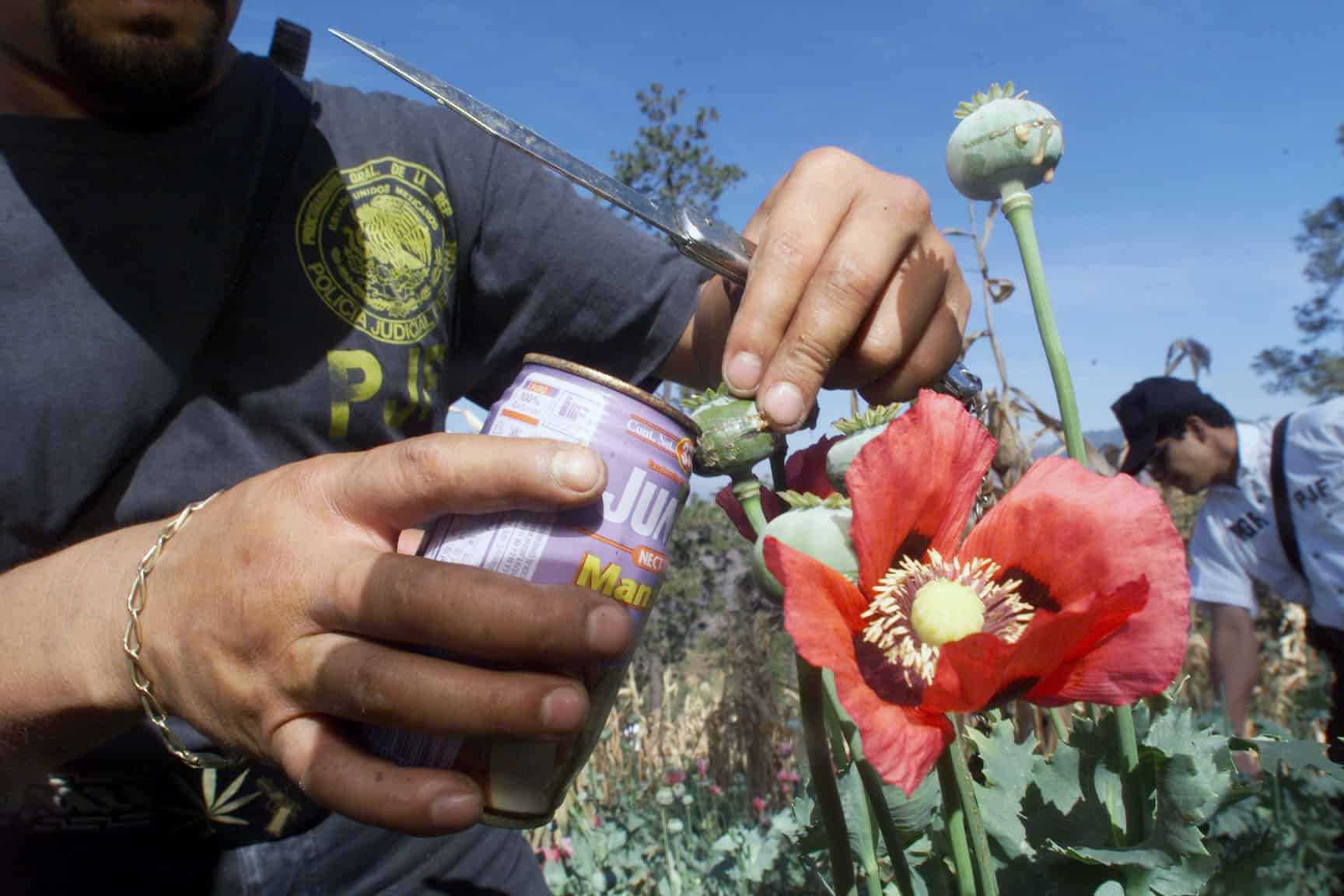 Former Pot Growers Fueling The Us Heroin Invasion The Tico Times