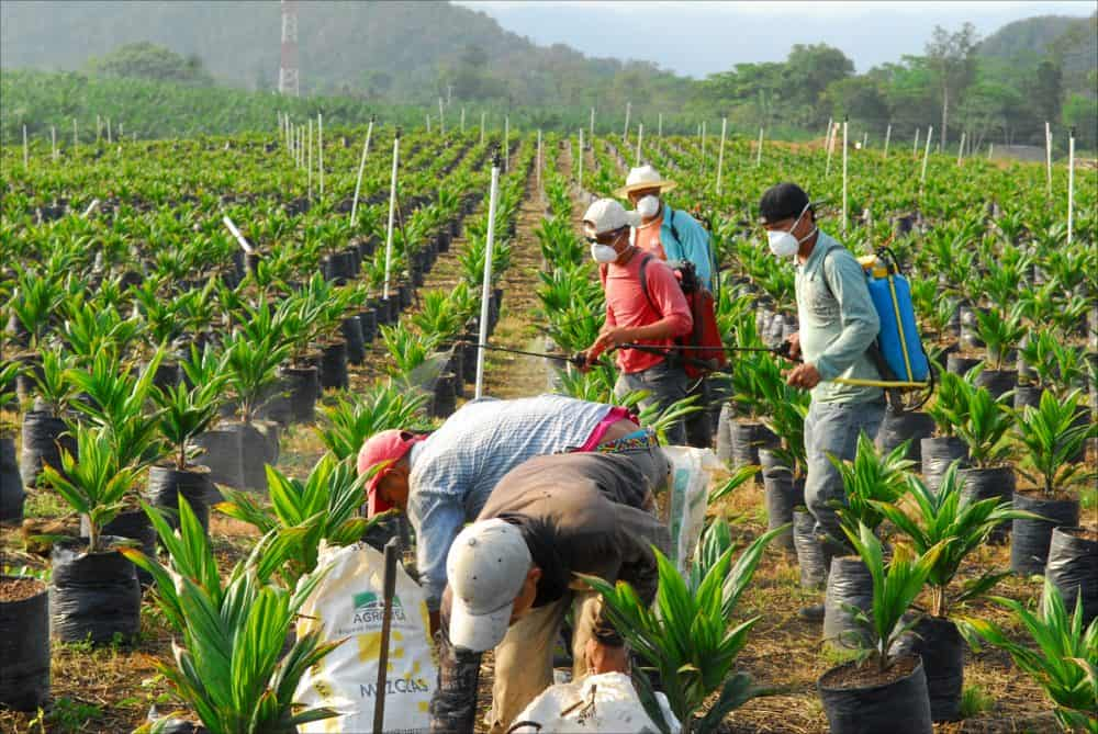 Farmworkers spray pesticides on baby African palm trees at the Finca Victoria nursery, about 35 kilometers from the Mexican border in the department of Alta Verapaz, Guatemala, May 10, 2014.