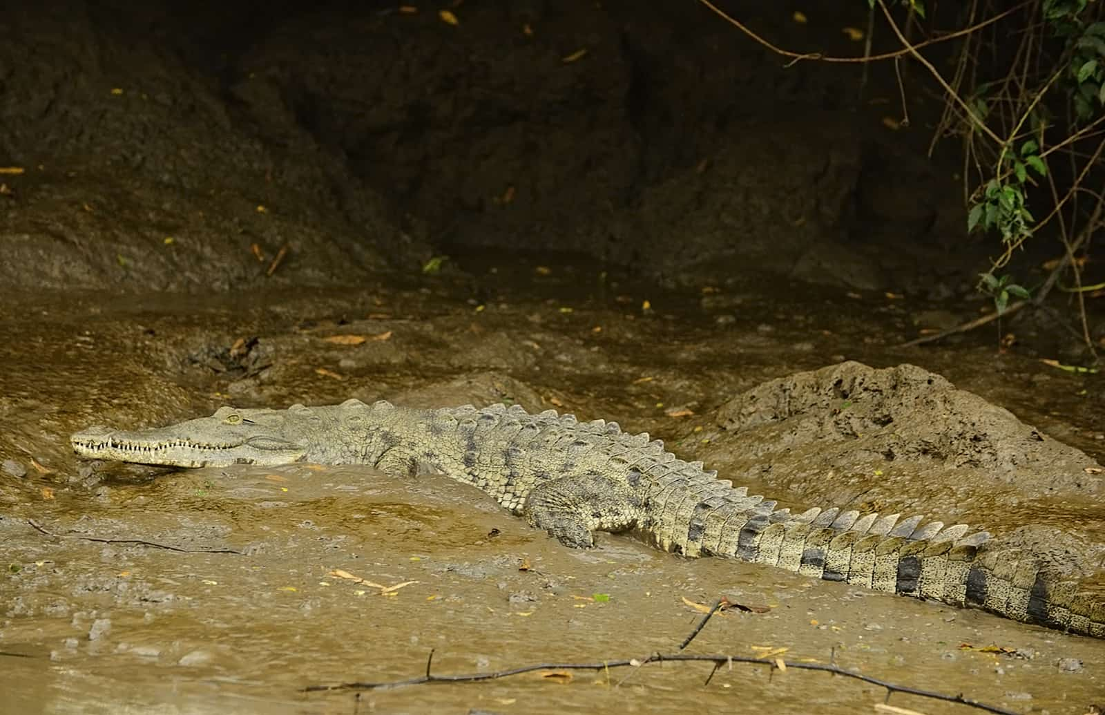 Costa ricas crocodile conundrum the tico times costa rica news a crocodile slithers into the water from the muddy bank of costa ricas tempisque river lindsay fendtthe tico times freerunsca Image collections