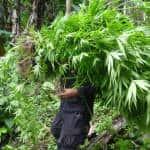 Police burn more than 38,000 marijuana plants found in Talamanca