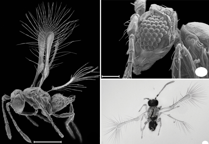 (From the Journal of Hymenoptera Research)