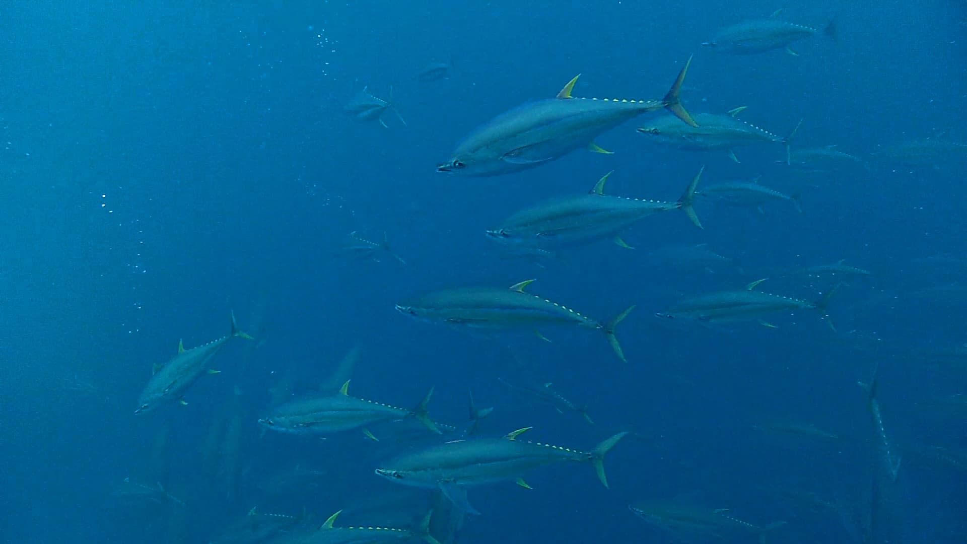 the effect of overfishing bluefin tuna