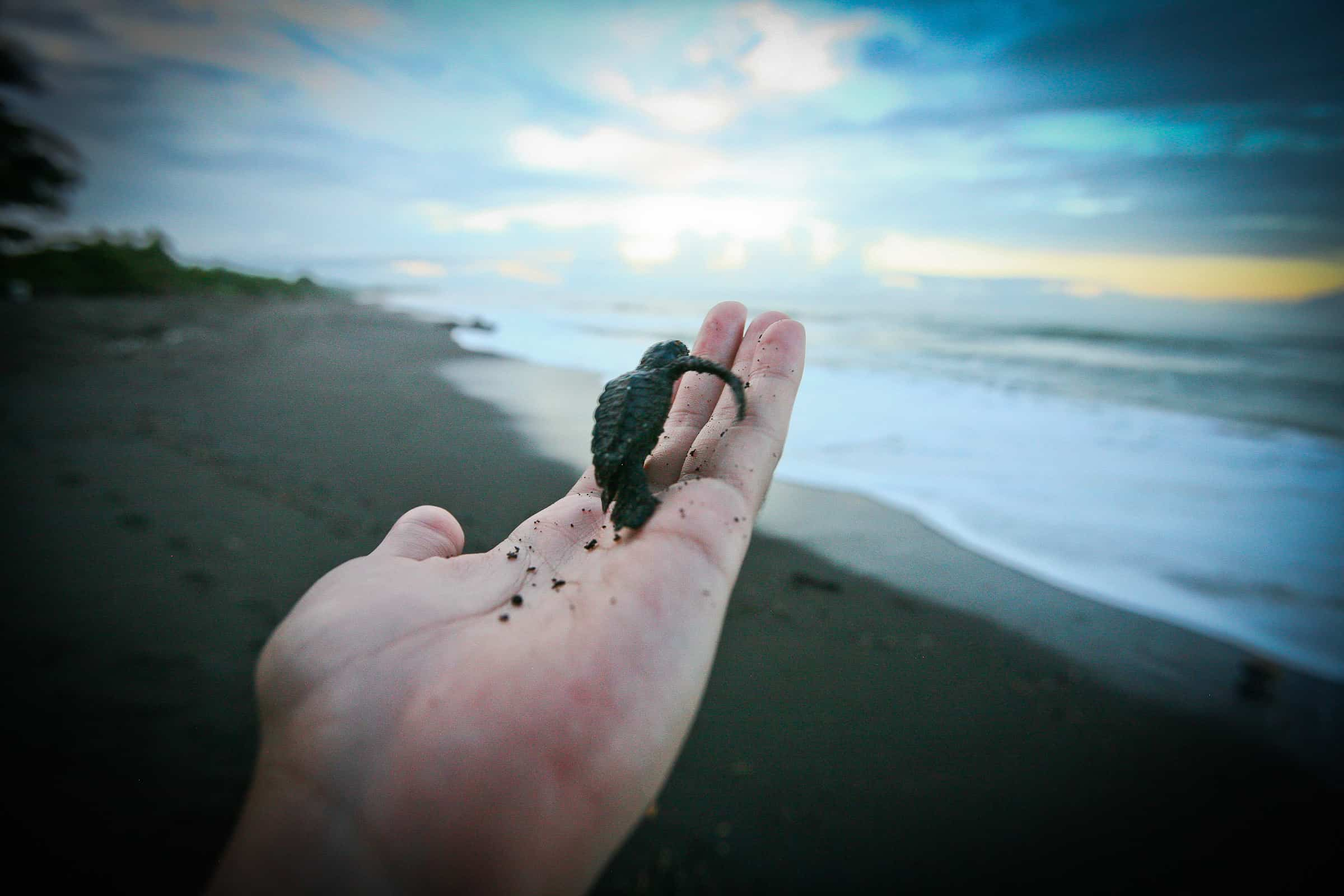 Baby Sea Turtles Are Tiny Little Things Ronald Reyes The Tico Times