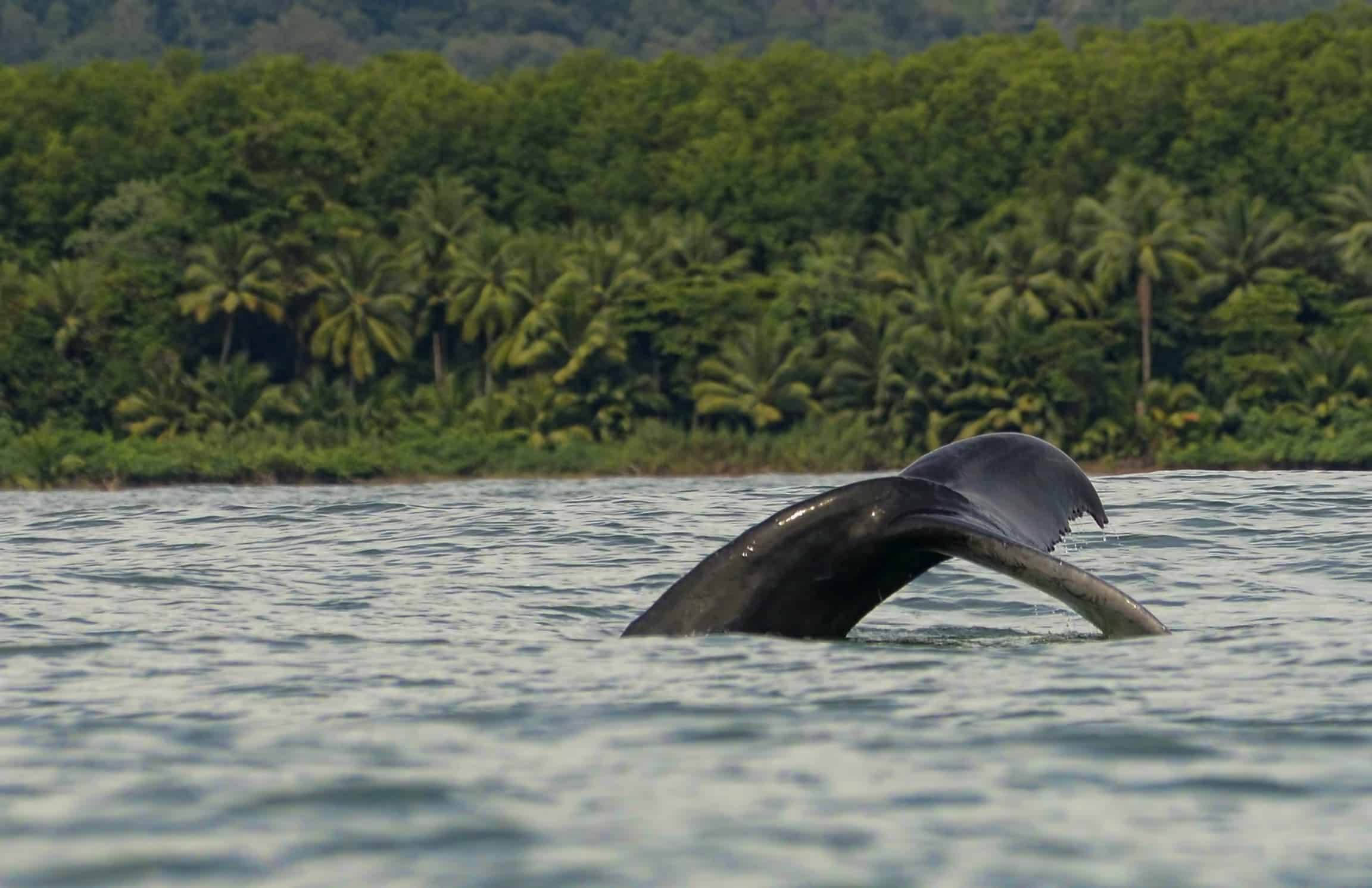 Humpback whale in Osa