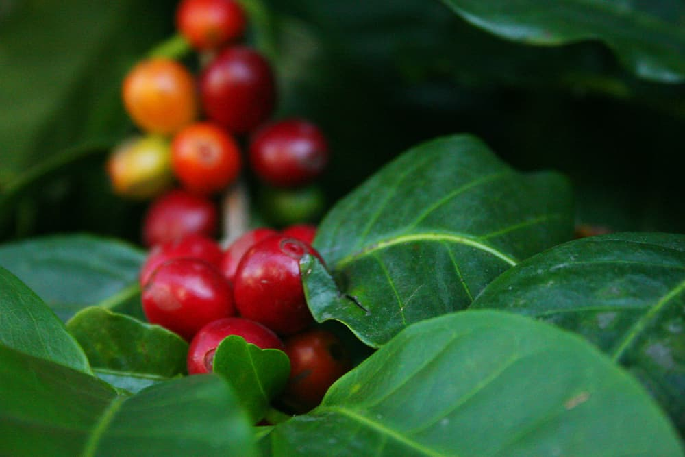 Carbon-neutral coffee: cherries