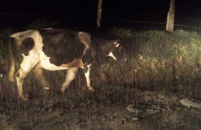 Ash falling over farm animals