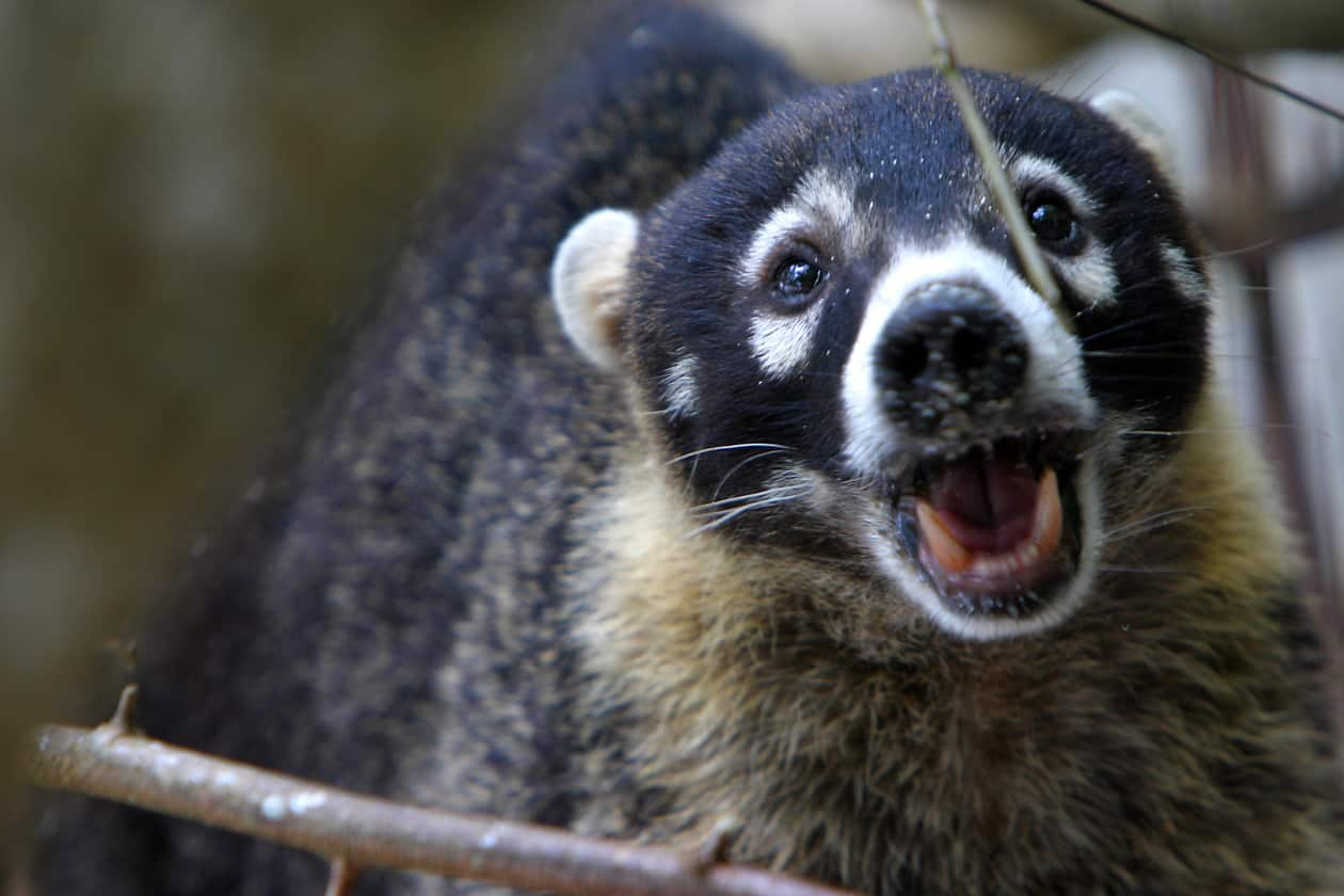 costa rican cities overrun with adorable coatis the tico times