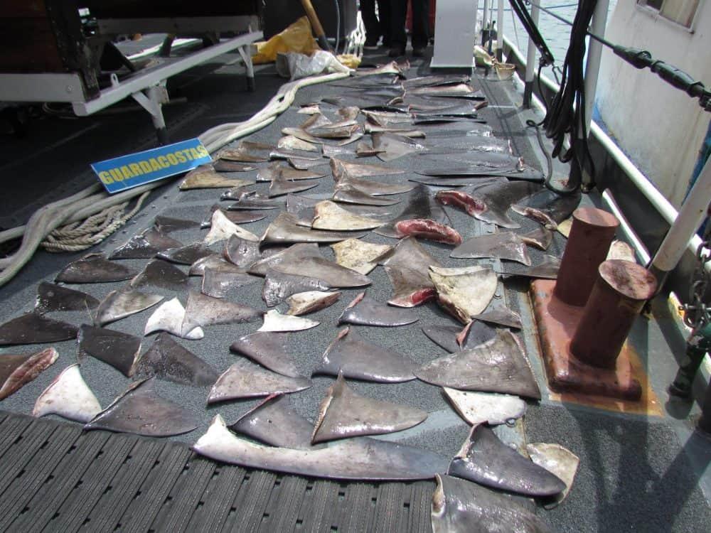 Shark fins seized off Costa Rica's Pacific coast.