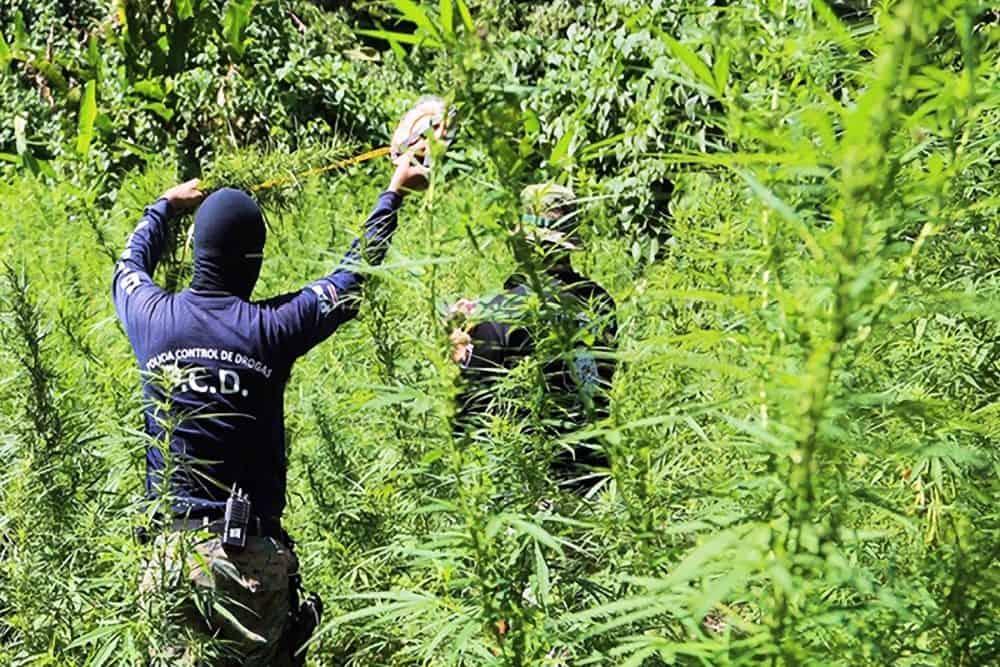 Marijuana plantation