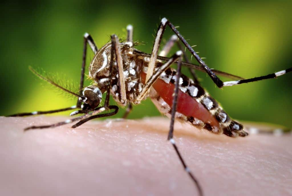 mosquito: dengue vaccine