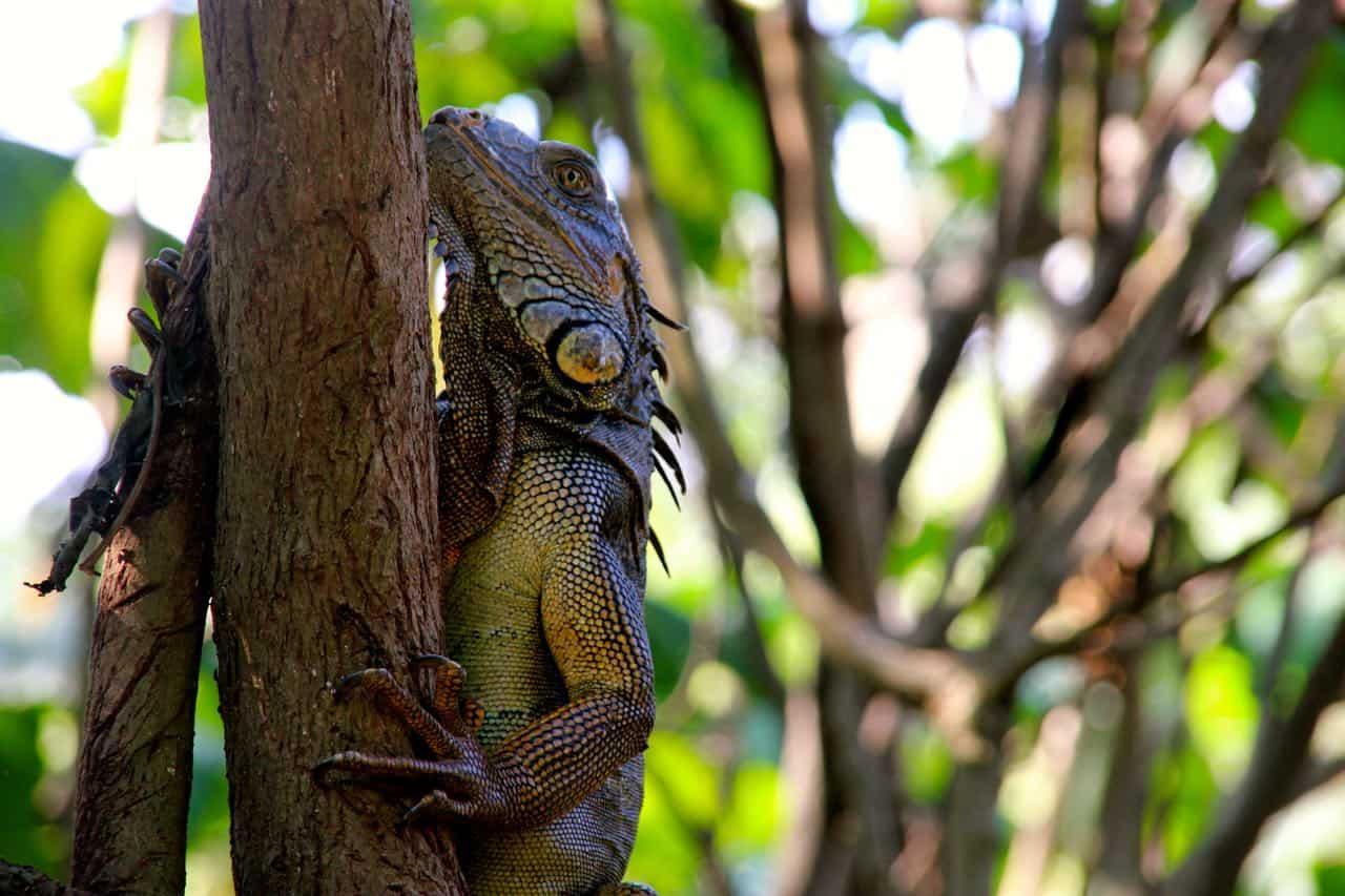 Iguana at INBio park
