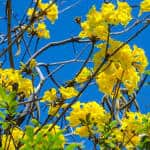 The yellow flowers of a Tabebuia ochracea tree, known in Costa Rica as corteza amarilla.