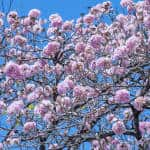 The lilac-colored blooms of a Tabebuia rosea, also known as roble sabana.
