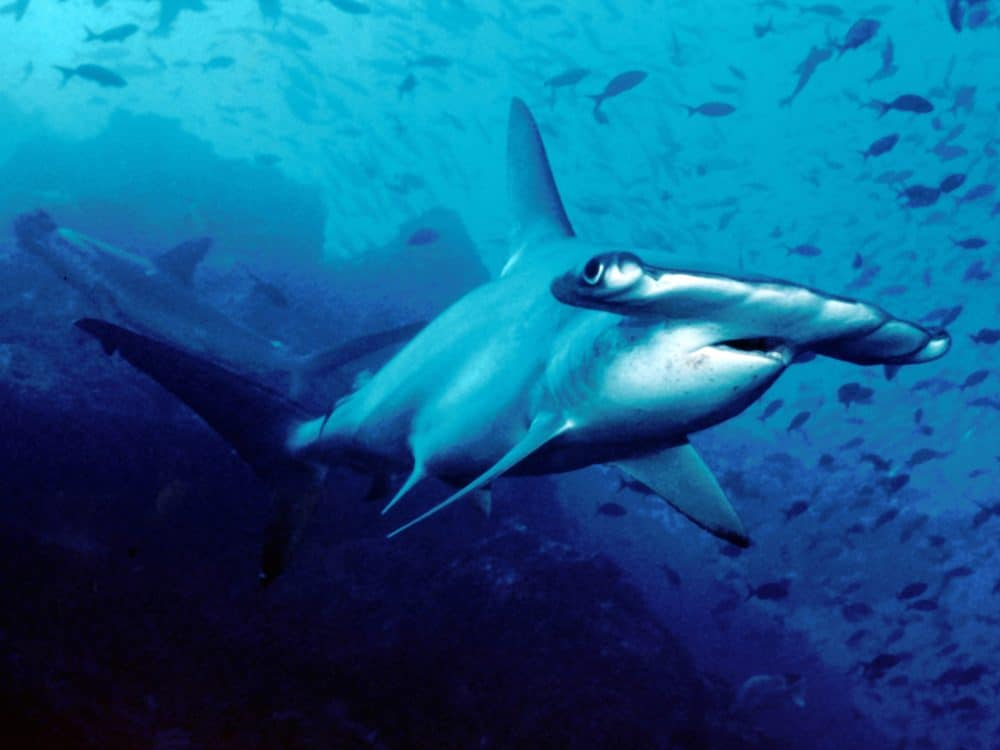 CITES protects scalloped hammerheads off Costa Rica's Cocos Island.