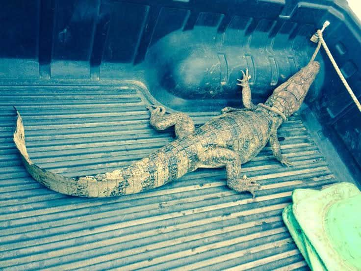 A 1.5-meter-long crocodile police relocated from a home in Naranjo, Alajuela on Tuesday, March 10, 2015.