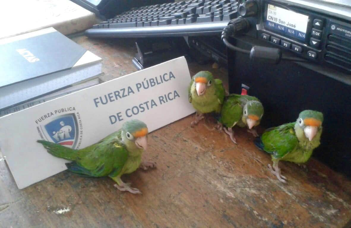 Rescued parakeets at a police station in Guanacaste, March 14, 2015.