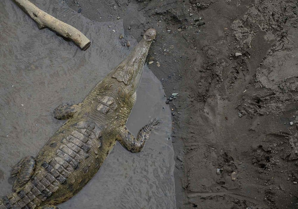 The Tamarindo Development Association and the Environment Ministry have developed a plan to prevent future crocodile attacks in the area.