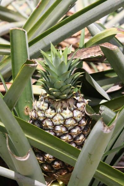 A growing pineapple.