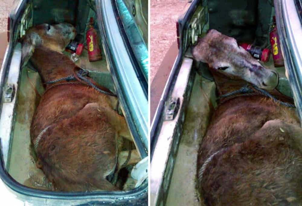 A mule in the trunk of a car.