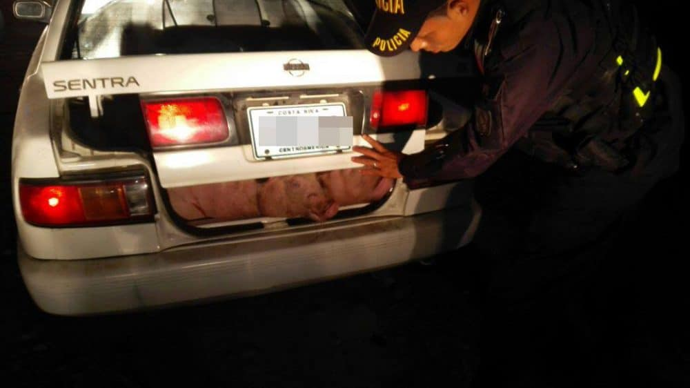 Pigs stuffed into the trunk of a car.