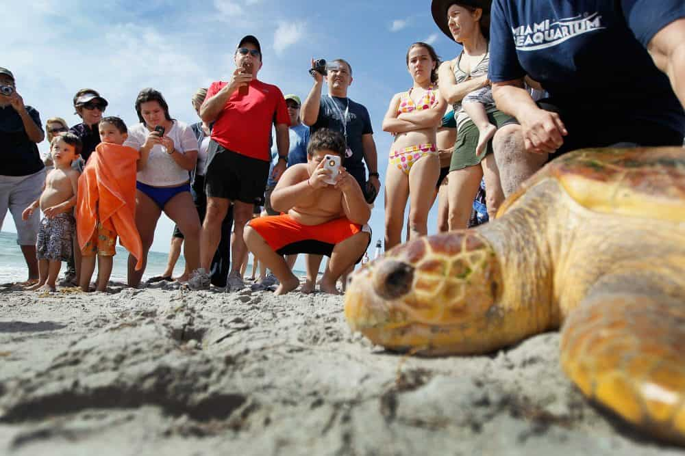 A loggerhead sea turtle is released into the wild.