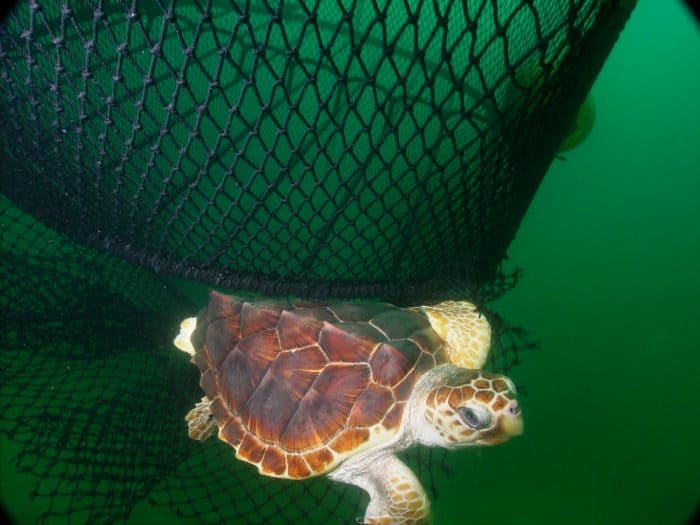 A loggerhead turtle (Caretta carreta) escapes a net equipped with a turtle excluder device (TED).
