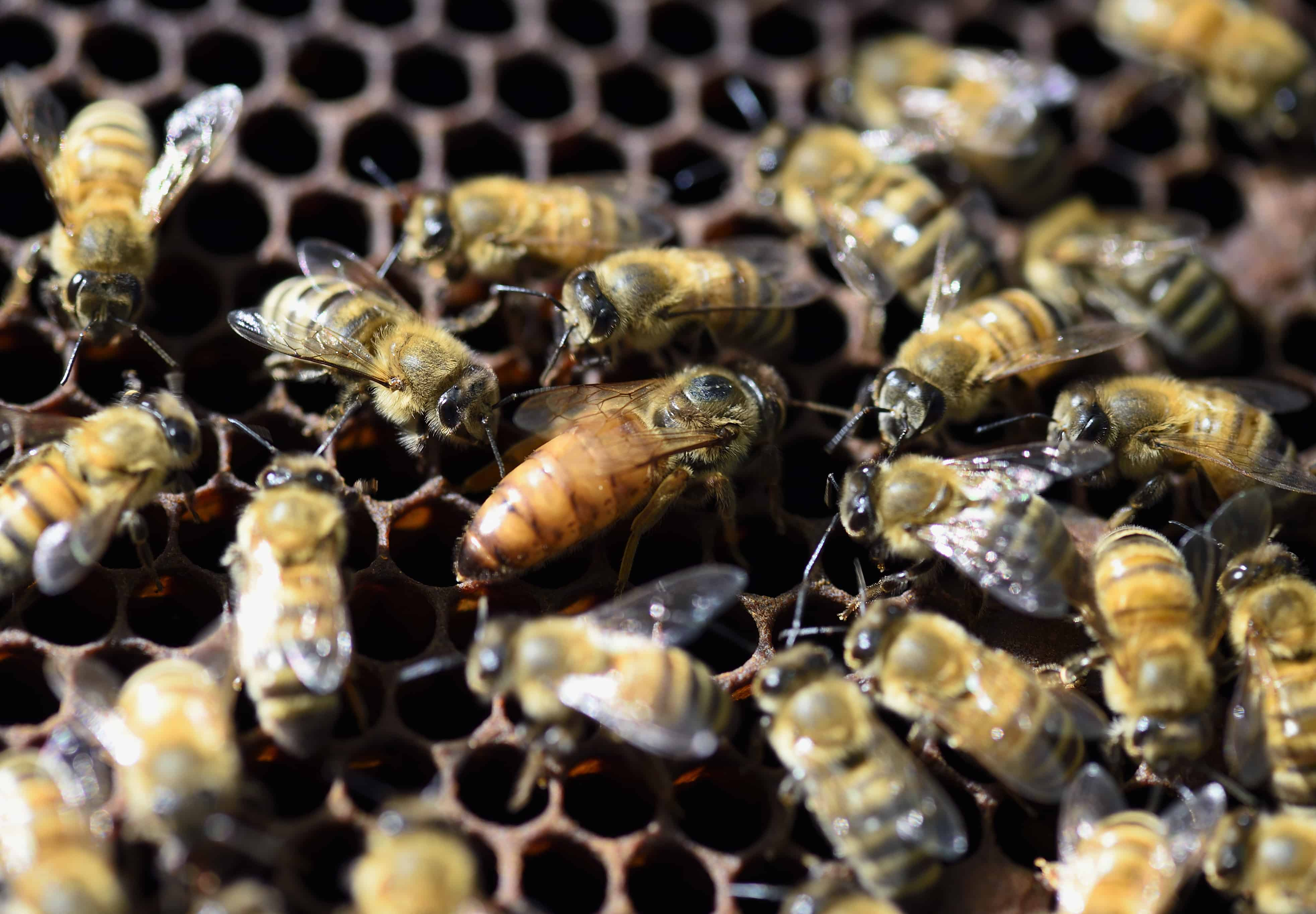 A queen bee is surrounded by bees in a hive at the Luxembourg Gardens' beekeeping school on April 15, 2015 in Paris.