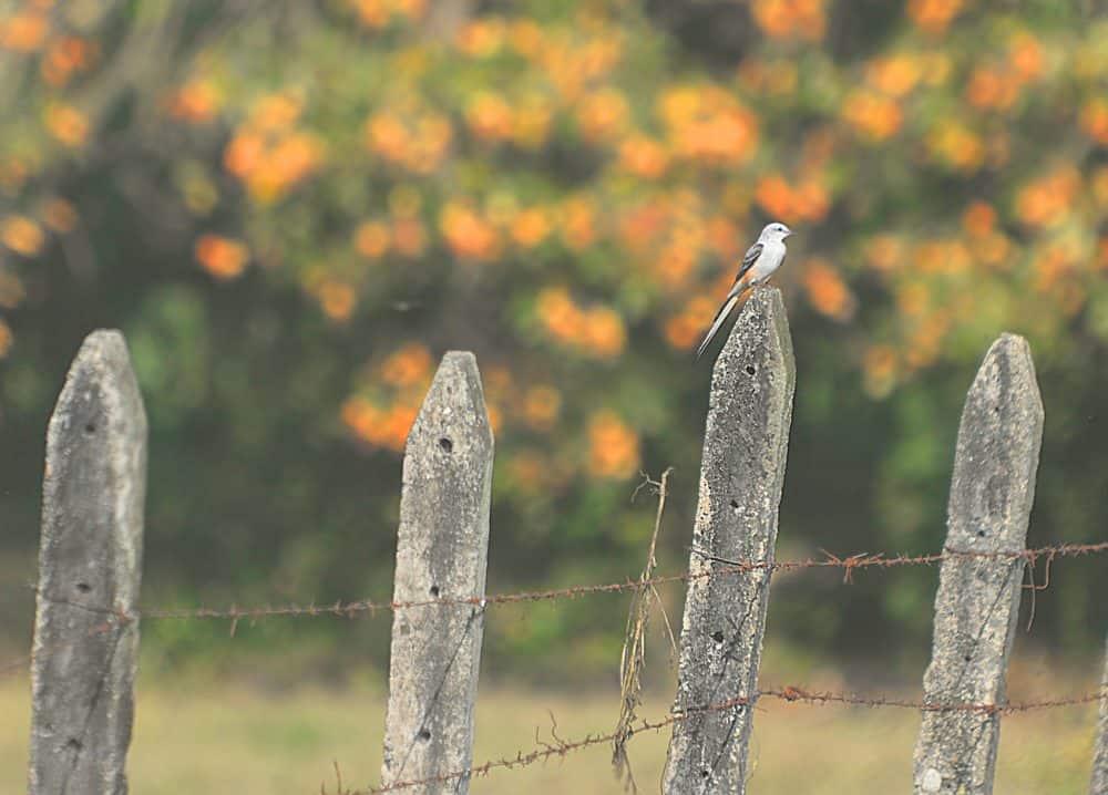 The scissor-tailed flycatcher.