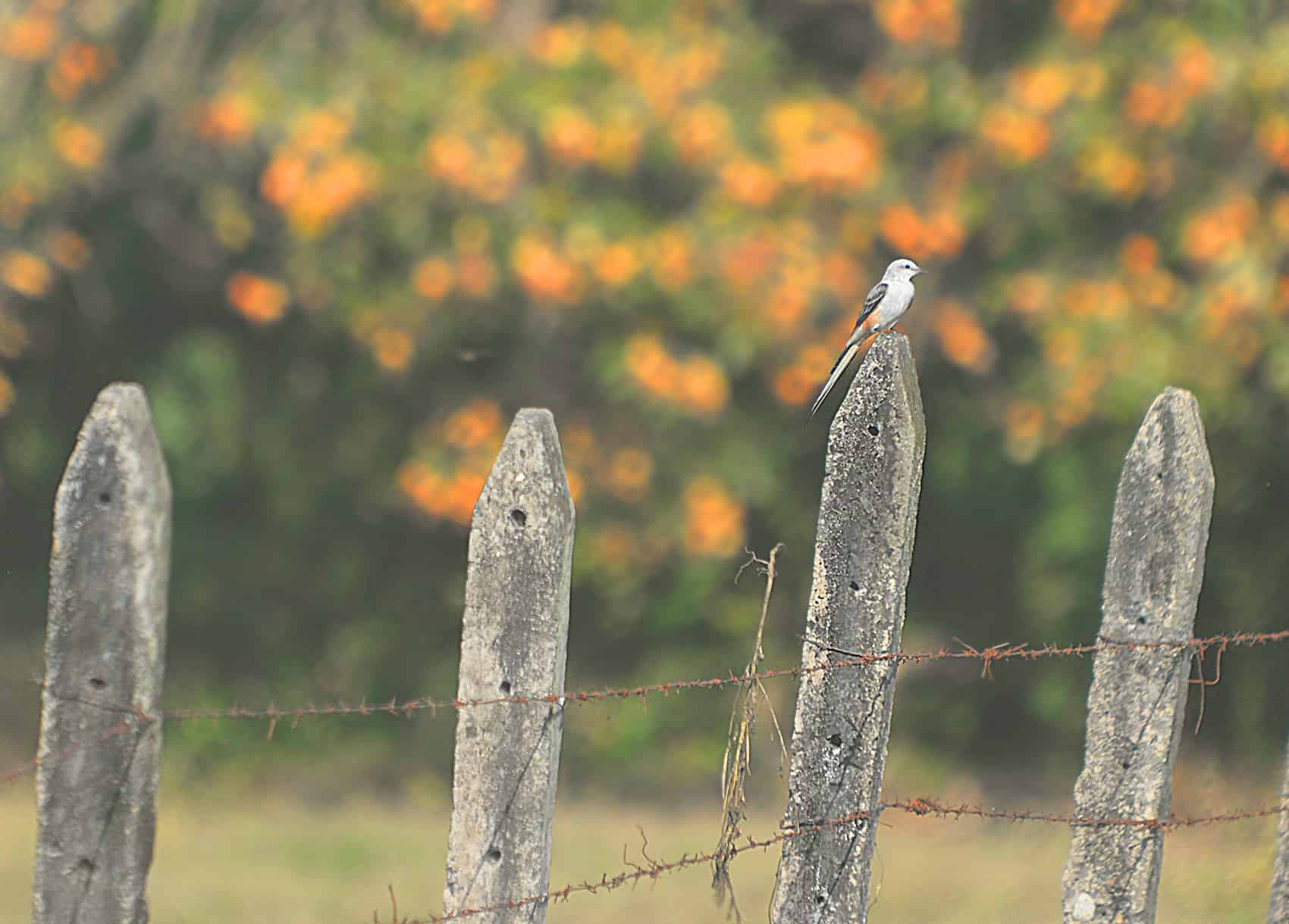 The scissor-tailed flycatcher.